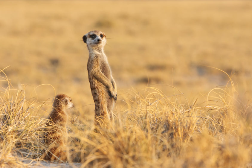 Two Meerkats Outlooks scan the area for any potential predators for their clan. (copyright Anette Mossbacher)