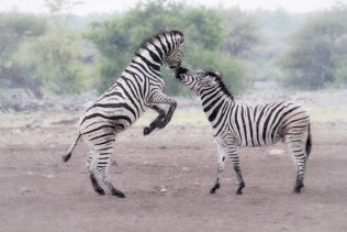 Two zebras are fighting or kissing. One stands on its back legs touching with its mouth the other zebra. (copyright Anette Mossbacher)