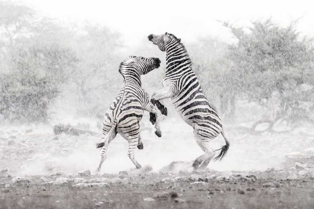 You see two Burchell's zebras fighting in the rain. These two zebras jump up in the air. (copyright Anette Mossbacher)