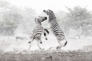 Two Burchell's zebras fighting in the rain. These two zebras jump up in the air. (copyright Anette Mossbacher)