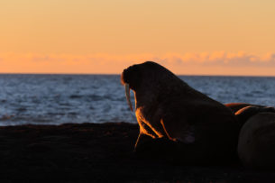 The colossal walrus enjoys the beautiful sunrise on the island Moffen in Svalbard. (copyright Anette Mossbacher)