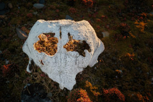 An interesting walrus skull lies on moss, while sunrise light shines into the skull. (copyright Anette Mossbacher)