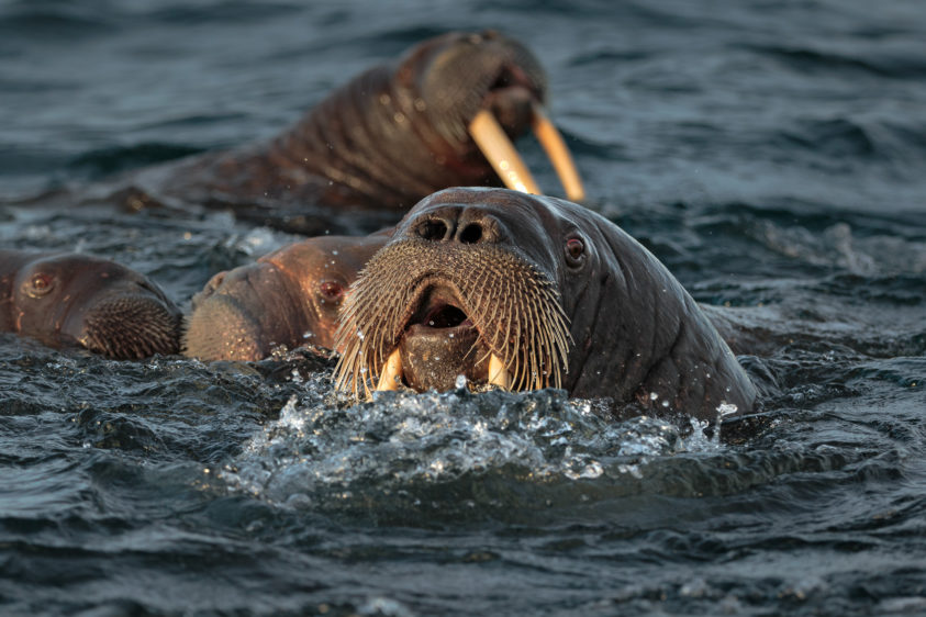 Colossal walruses are swimming in the Arctic sea, coming to our zodiac. Their heads are above the water. (copyright Anette Mossbacher)