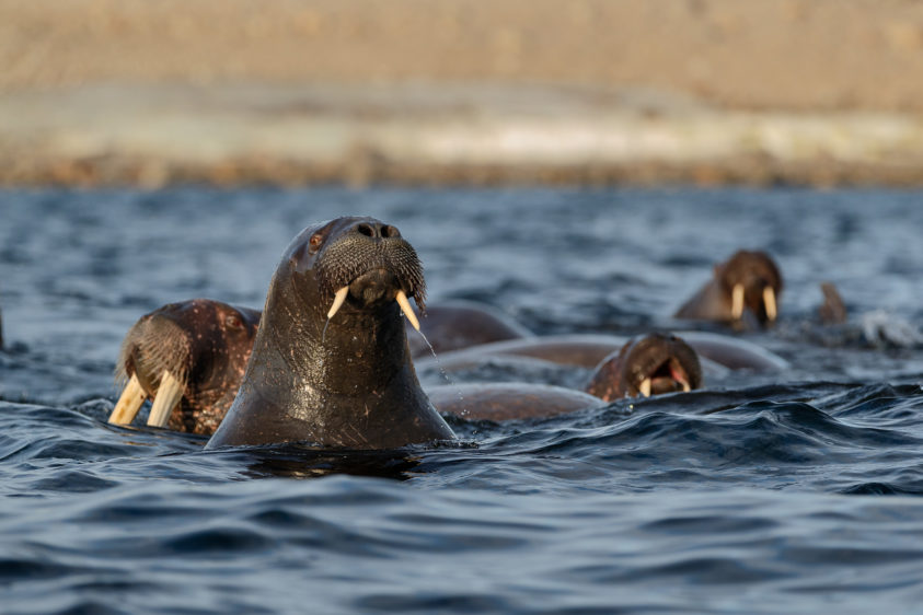 Walrus swim in the Arctic sea. Three animals with their heads above the water. (copyright Anette Mossbacher)