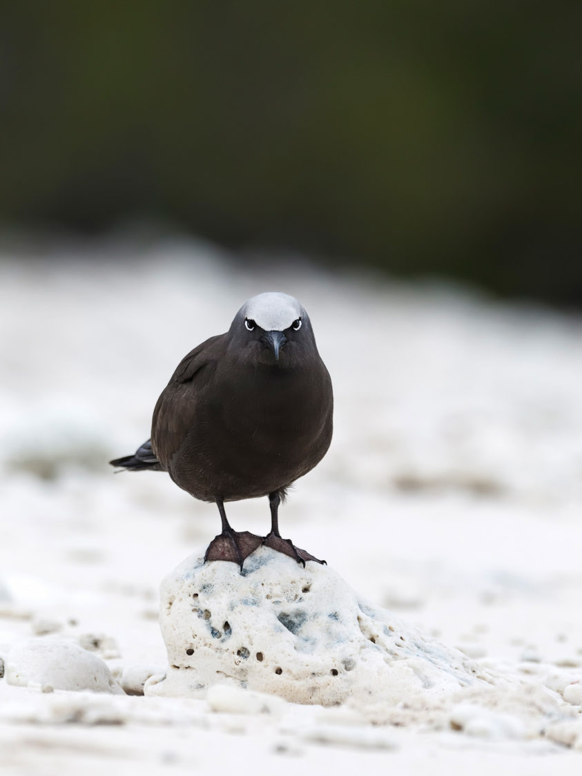The extraordinary White-capped Noddy portrait. Indeed, it looks angry at you. It stands on a piece of coral. (copyright Anette Mossbacher)