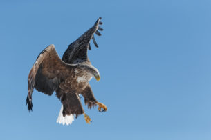 The white-tailed eagle in midair shows brilliantly against the bright blue background. (copyright Anette Mossbacher)