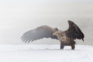 Impressive white-tailed eagle has its wings spread to warn other raptors. (copyright Anette Mossbacher)