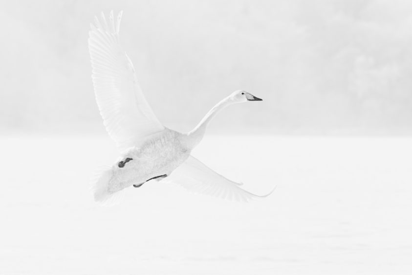 A graceful Whooper swan in flight while it is coming to land, with its wings fully spread. (copyright Anette Mossbacher)