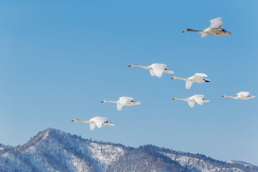 Beautiful Whooper swan flock flying. A group of seven birds flies into the Kussharo lake in Hokkaido. (copyright Anette Mossbacher)
