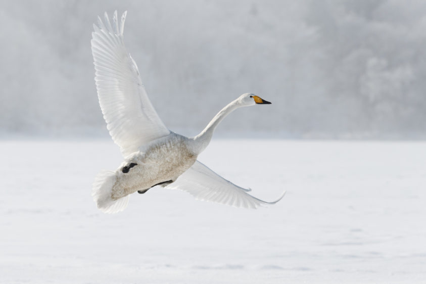 Beautiful Whooper swan flying with its wings spread. This beautiful bird is landing at Lake Kussharo. (copyright Anette Mossbacher)