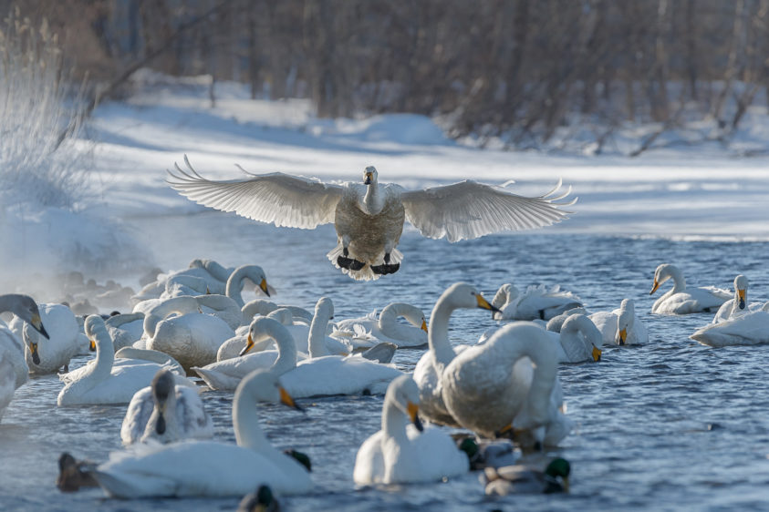 A remarkable Whooper swan is landing between other swans in a lake. (copyright Anette Mossbacher)
