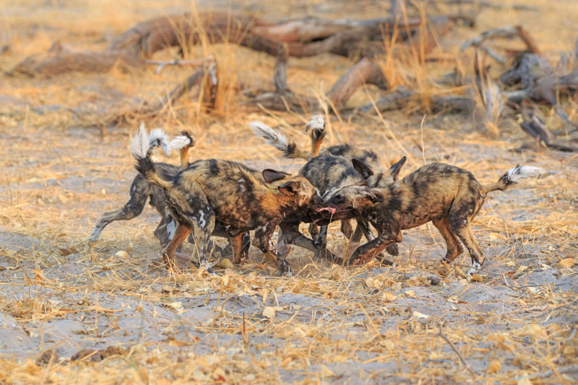 These fantastic six wild dog cubs fight for food in front of a large tree log. Every dog holds on. (copyright Anette Mossbacher)