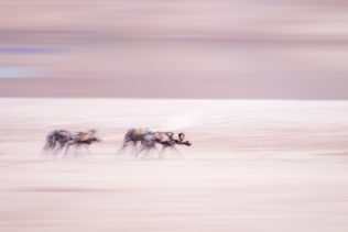 Fine art wildlife photograph in color features the African Wild dogs walking along a river. (copyright Anette Mossbacher)