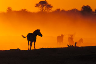 As the zebras cross a dry riverbed, the dust in the air creates a colorful sunset spectacle. (copyright Anette Mossbacher)