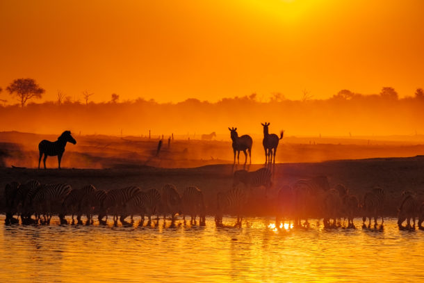 A Zebra herd drinks at a watering hole with the fiery colors of the African sunset. (copyright Anette Mossbacher)