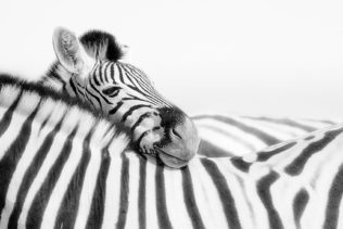 The zebra is resting its head on another zebra's back. Their fur stands out in that B&W photograph. (copyright Anette Mossbacher)