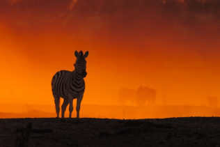 The zebra stands in the sunset, as a silhouette, while the beautiful orange color flows through the cloud of dust. (copyright Anette Mossbacher)