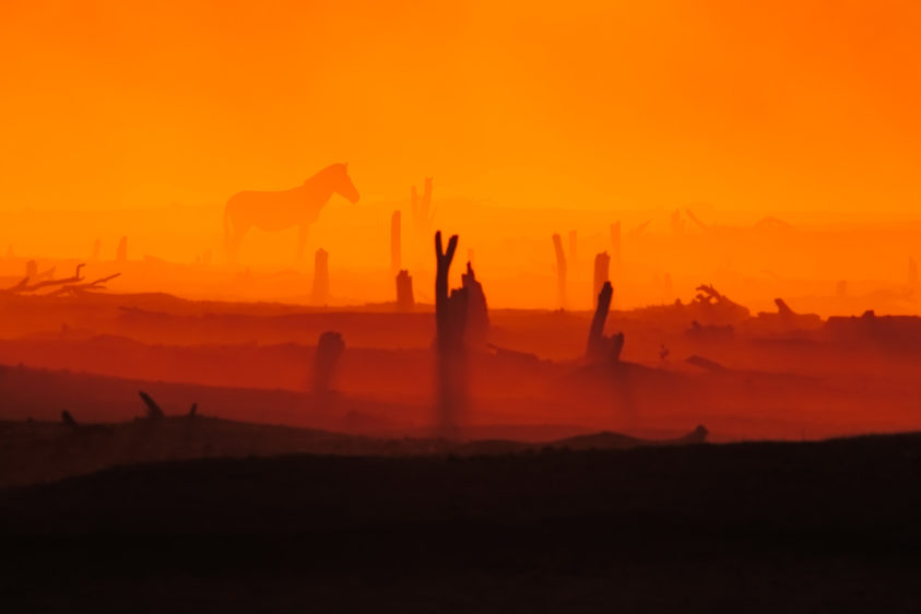 A solitary zebra is surrounded by the glowing colors of the sunset in the dust cloud. (copyright Anette Mossbacher)