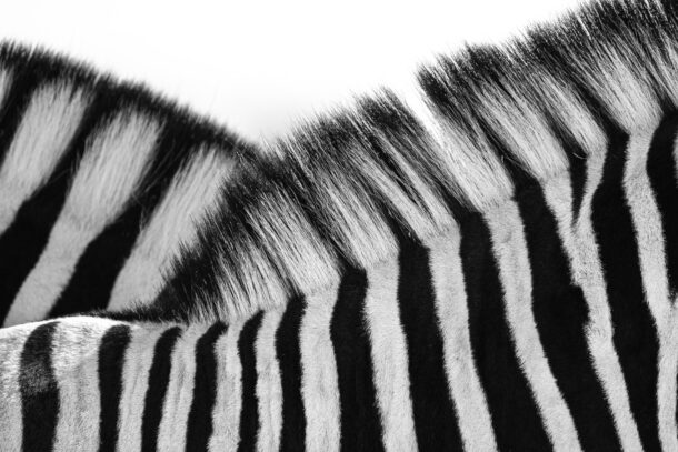 Two Zebras black and white photo print of their mane. A closeup of their hair and fur. (copyright Anette Mossbacher)