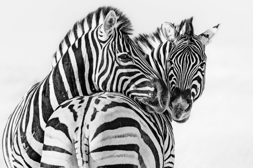 Two zebras have an intimate moment together in this fine art black and white photograph. (copyright Anette Mossbacher)