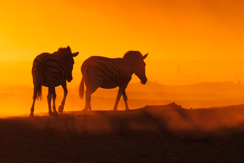 These two zebras walk through the dusty savannah from the river back to the bush at vibrant sunset. (copyright Anette Mossbacher)